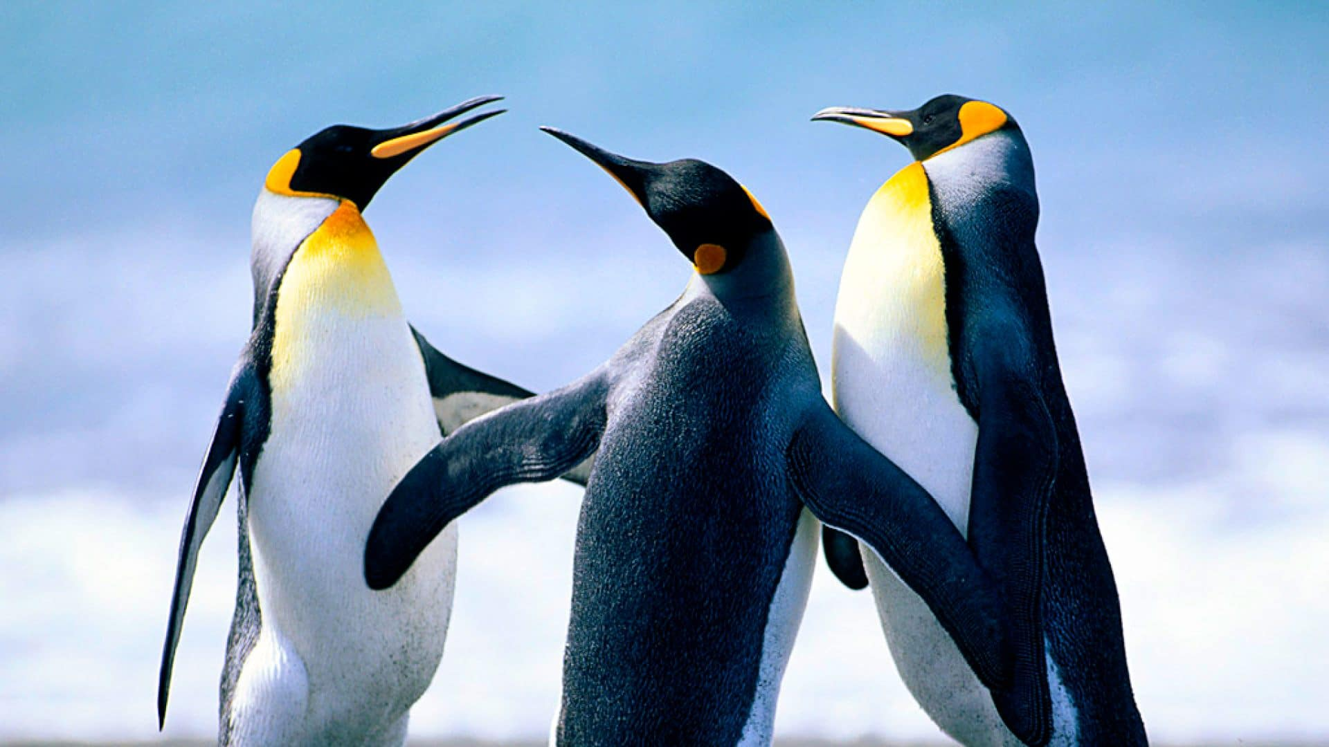 Wallpapers Pinguins