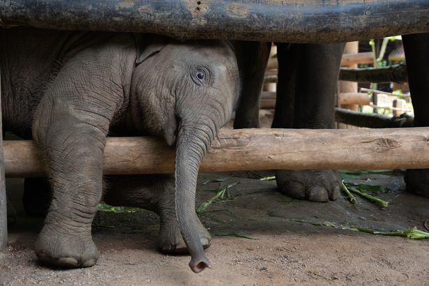 Filhotes De Elefantes São Criados E Treinados Para Abastecer A Indústria Do Turismo Na Tailândia
