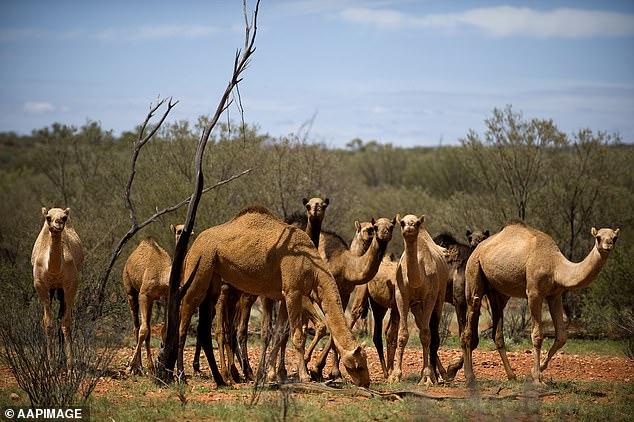 Massacre de 10 mil camelos começa amanhã para impedir que bebam muita água