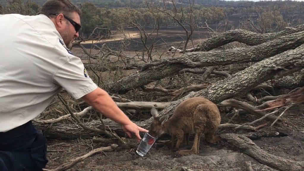 Cangurus aflitos correm para salvar suas vidas do fogo que destrói seu habitat