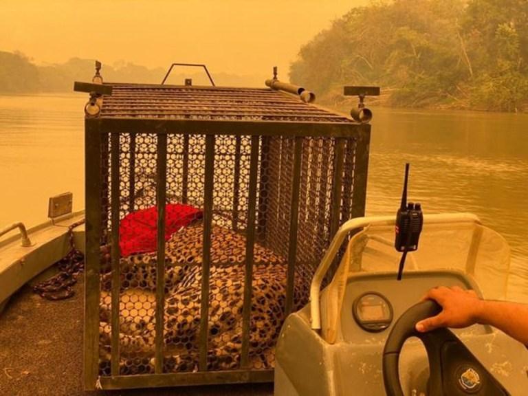 Veterinário dedica mais de 12h diárias para salvar animais no Pantanal: 'cenário devastador'
